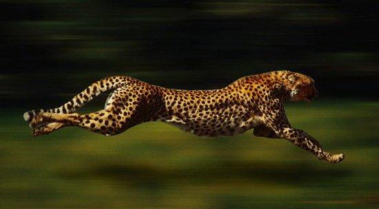 豹子奔跑矢量图